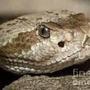 Blacktail Rattlesnake Art Print