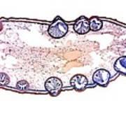 Bladder Wrack, Light Micrograph Art Print