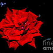 Blood Rose Art Print