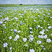 Blooming Flax Field Art Print