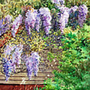 Blooming Wisteria Art Print by Peter Sit
