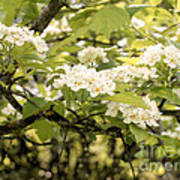 Blossoming Hawthorn Tree Art Print