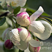 Blossoms And Buds Art Print