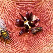 Blowflies On Stapelia Art Print