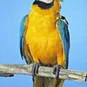 Blue-and-gold Macaw Art Print