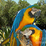 Blue And Gold Macaws Art Print