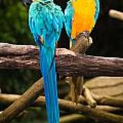 Blue-and-yellow Macaw  Art Print