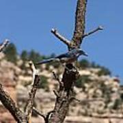 Blue Bird Grand Canyon National Park Arizona Usa Art Print by Audrey Campion