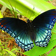 Blue Butterfly I Art Print