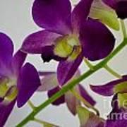 Blue Charm X Aridang Blue Orchid - 3 Art Print