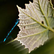 Blue Damsel On Leaf Art Print