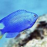 Blue Damselfish Art Print