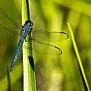 Blue Dragonfly 1 Art Print