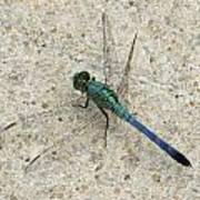 Blue Dragonfly Art Print