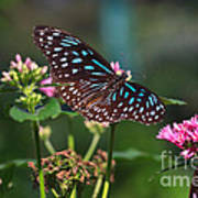 Blue Glassy Tiger Butterfly Art Print