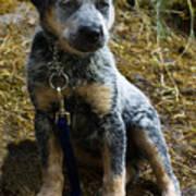 Blue Heeler Pup Art Print
