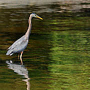 blue Heron fishing Art Print