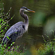 Blue Heron Observing Pond - 6955k Art Print