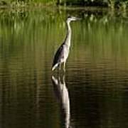 Blue Heron Reflection Art Print