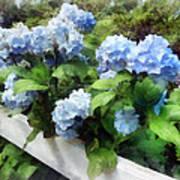 Blue Hydrangea On White Fence Art Print