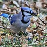 Blue Jay With A Piece Of Corn In Its Mouth Art Print