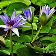 Blue Lilies Art Print