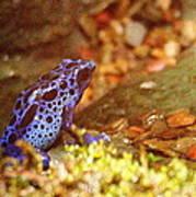 Blue Poison Dart Frog Art Print