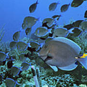 Blue Tang Surgeonfish Print by Georgette Douwma