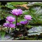 Blue Tropical Water Lilies Art Print
