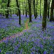 Bluebell Wood, Near Boyle, Co Art Print