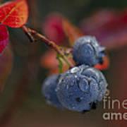 Blueberry Dewdrops Art Print