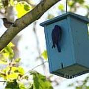Bluebird Hanging Around Art Print