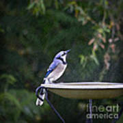 Bluejay In The Rain - Artist Cris Hayes Art Print