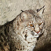 Bobcat Iv Art Print by DiDi Higginbotham