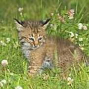 Bobcat Kitten Art Print by John Pitcher