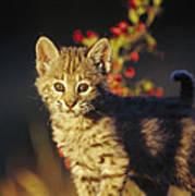 Bobcat Kitten Standing On Log North Art Print