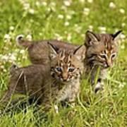 Bobcat Kittens Art Print