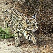 Bobcat Stalking Prey Art Print