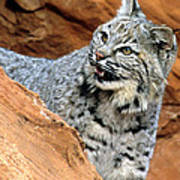 Bobcat With A Smile Art Print