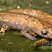 Bolitoglossine Salamander Art Print