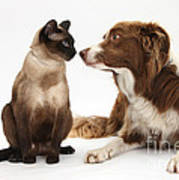 Border Collie & Siamese Cat Art Print