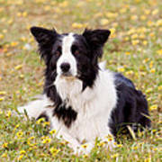 Border Collie In Field Of Yellow Flowers Art Print