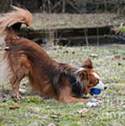 Border Collie Playing With Ball Print by Mark Taylor