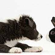 Border Collie Puppy And Rabbit Art Print
