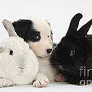 Border Collie Pups With Black Rabbit Art Print