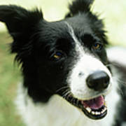 Border Collie Sitting On Grass,close-up Art Print by Stockbyte
