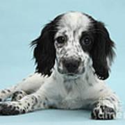 Border Collie X Cocker Spaniel Puppy Art Print