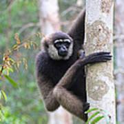 Bornean White-bearded Gibbon Art Print