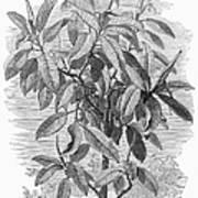 Botany: Ficus Elastica Art Print