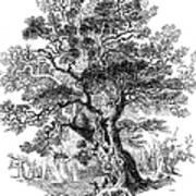 Botany: Oak Tree Art Print